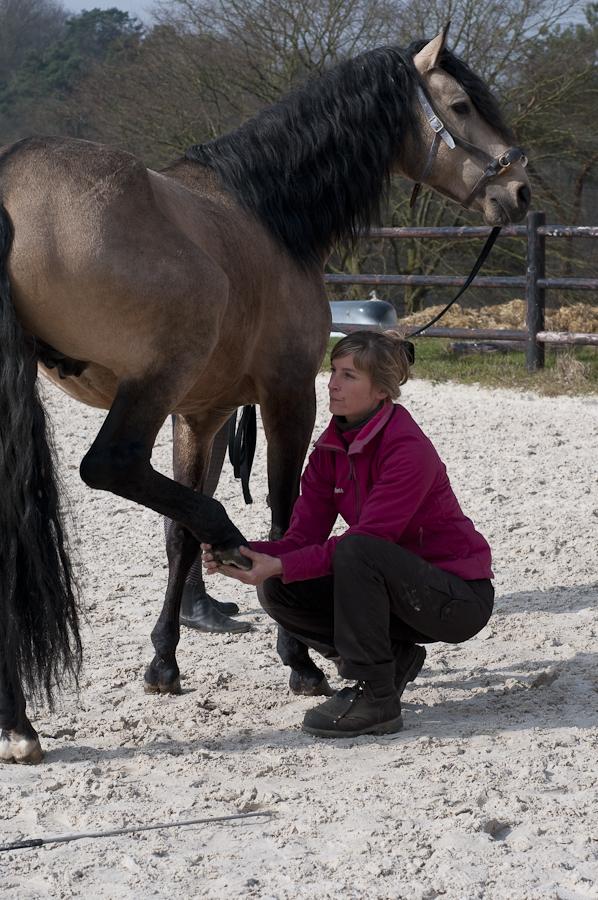 Ostéopathie du cheval - Manipulation de la jambe avant