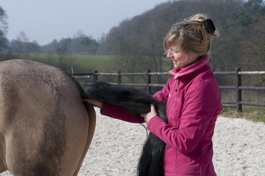 Ostéopathie du cheval - Manipulation de la queue