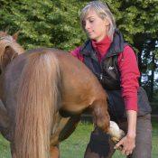 Ostéopathie du cheval - Manipulation de la jambe arrière