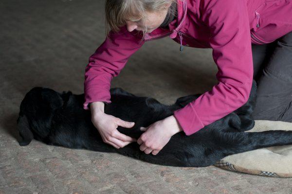 Shiatsu pour chien - Massage du dos